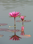 ripples and two pink water lilliesP1060762