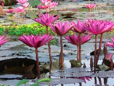 thai Pink water lillies